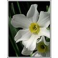 narcissus flower garden white