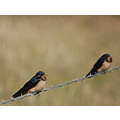 swallows wire abbotsham devon