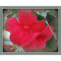 Mandevilla blooms.  The vine is so full of red velvet flowers and it is difficult for me to captu...