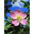 Dog Rose along the coast