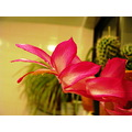 cactus bloom pink