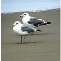 netherlands bergenaanzee animal bird gull sea nethx bergx animx birdx sean