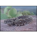 Female Arizona Black rattlesnake (no flash)