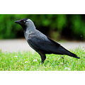jackdaw bird nature park summer green pleven bulgaria nikon sigma