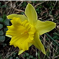 daffodil flower nature