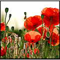 flower flowers poppy poppies light red nature field somerset somersetdreams
