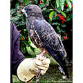 birds swainsons hawk raptor