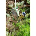 Bluetit bird wildird feeding bluetits birds feathers