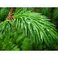 new growth fir