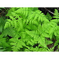 They are so green..I love all kinds of ferns, they remind me about my childhood when I used to sp...