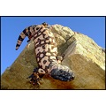 Adult Gila monster