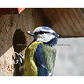 blue tit bird feeding nest box