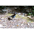 bird steller jay blue