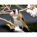 Bandsix goldfinch