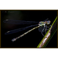 nature insect damselfly macro