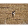 coyote wildlife