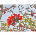 sandiego sdoldtownfph oldtown red flowers tree redfph