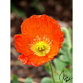 Orange poppy. I love poppies. They always conjure up thoughts of flying monkeys and rusty tin men.