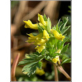 palecorydalis wildflower yellow nature