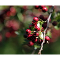 Reifel Sanctuary Delta BC Canada berries tree bokeh