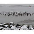 SEAGULLS MARINE LAKE WEST KIRBY