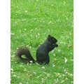 Black Squirrel Toronto
