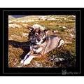 Norway Hardanger dog