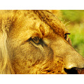 lion cat feline mane animal mammal nature wildlife