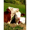 cow cows nature France countryside tenderness