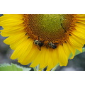 sunflowers busy bees