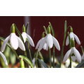 Flowers Snowdrops white Winter