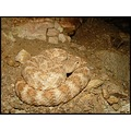 Female Speckled rattlesnake