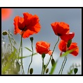 poppy poppies flower nature carl bovis somerset england uk