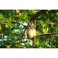 long eared owl kildare ireland