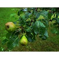 pear fruit rain summer Bohemia