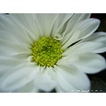 poulets thailand closeup nature flower macro white