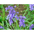 Flowers Bluebells
