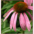 echinacea purpleconeflower flower nature pink raindrops