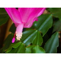 flower cactus bloom peterpinhole