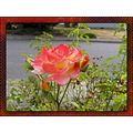 Rose Plant Flower condessadesastago Aloha Oregon