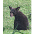 blackbear cub bear
