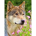 Wolf amongest the flowers