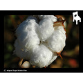 algodon cotton