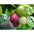 plums changingcolour yum