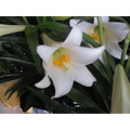 easter lilies continuation white lilies weak light
