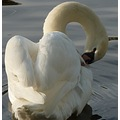 swan morning light lake reigate