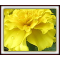 Marigold......probably African (Tagetes).  This one is still in a little nursery pot waiting to b...