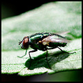nature insect bug fly closeup macro bokeh green reflections leaf