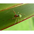 Male green garden spider - 6mm leg span