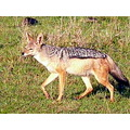 Kenya Wildlife Animals MasaiMara Jackal